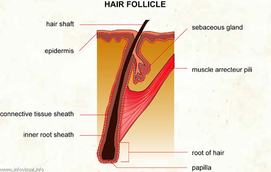 Structure Of The Hair Follicle Natural Sisters South