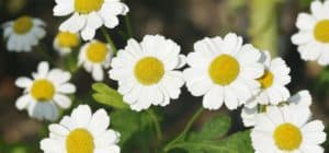 6-Amazing-Benefits-Of-Feverfew-For-Skin-Hair-And-Health